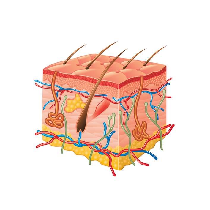 glándula sudoripara